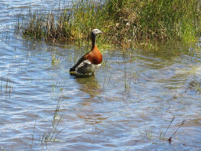 Birds of Patagonia: Ashy-headed goose