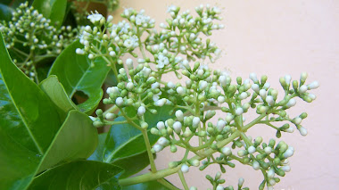 Viburnum lucidum: a punto de florecer