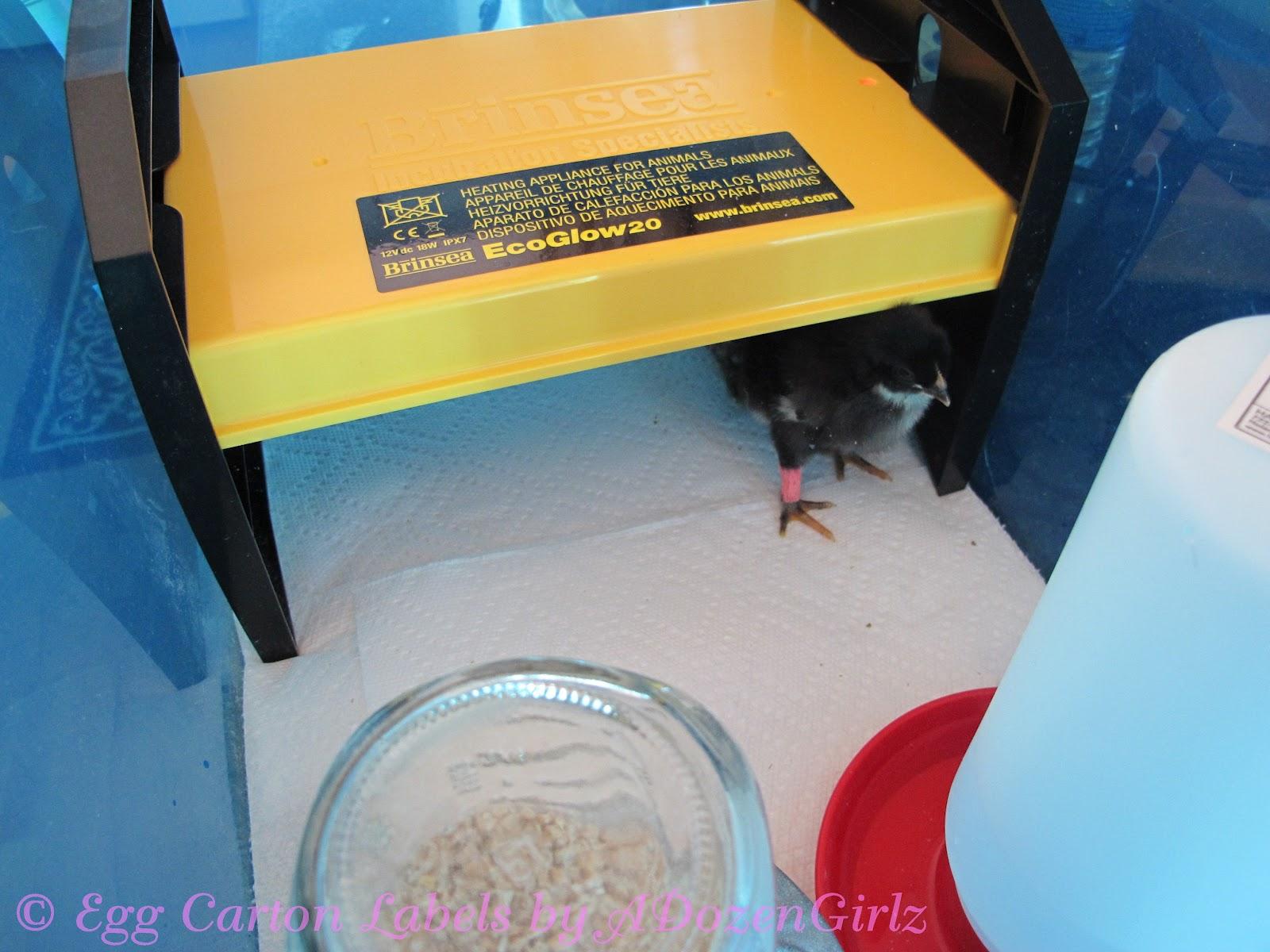 The Chicken Chick: Brinsea EcoGlow 20 GIVEAWAY!