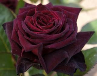 gambar bunga mawar indah 31