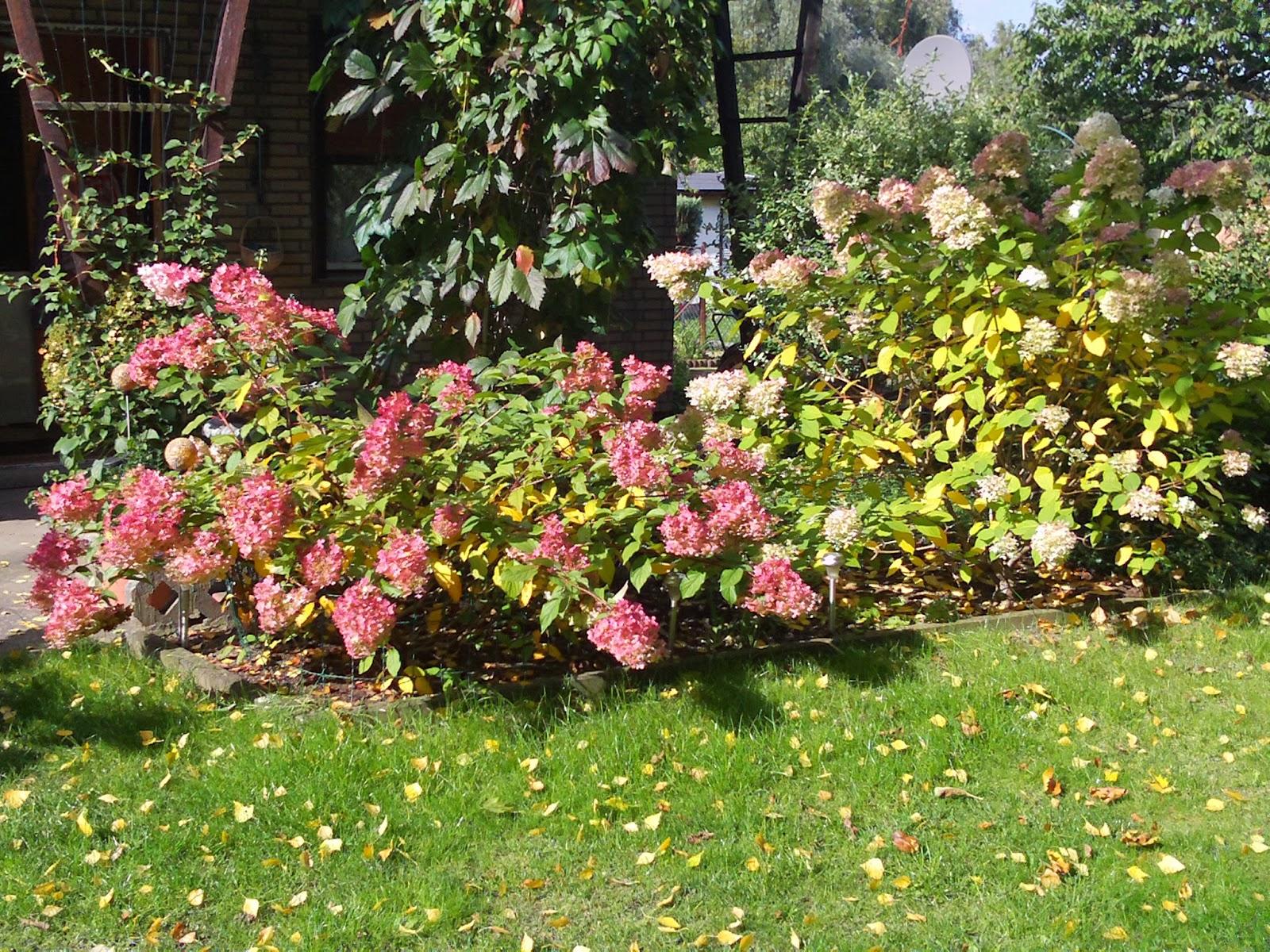 rispenhortensie hydrangea paniculata gartenelfe. Black Bedroom Furniture Sets. Home Design Ideas