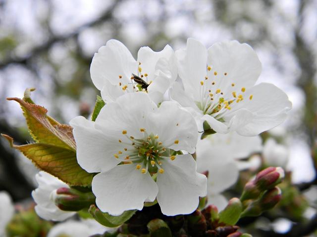 drzewa owocowe, kwiaty, sad, ogród, białe kwiaty