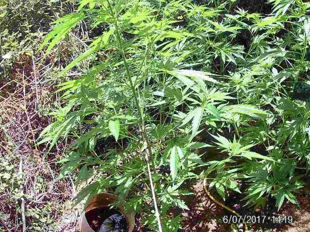 Συνελήφθη 51χρονος για καλλιέργεια δενδρυλλίων κάνναβης και κατοχή ναρκωτικών