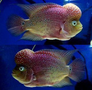 Tips budidaya ikan louhan kamfa