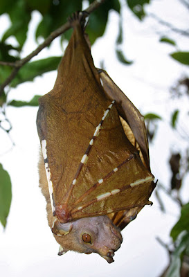Philippine tube nosed free Bat