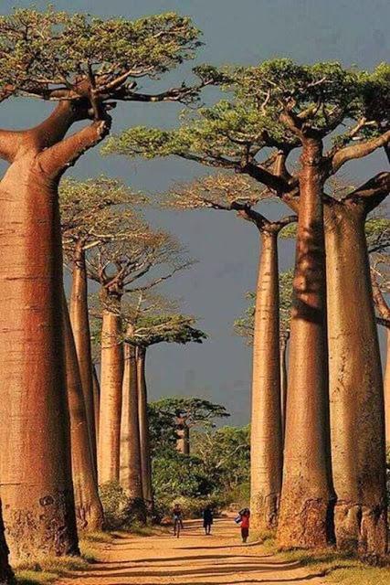 Estas árvores são os famosos Baobabs que podem ser vistos na ilha de Madagascar, na África