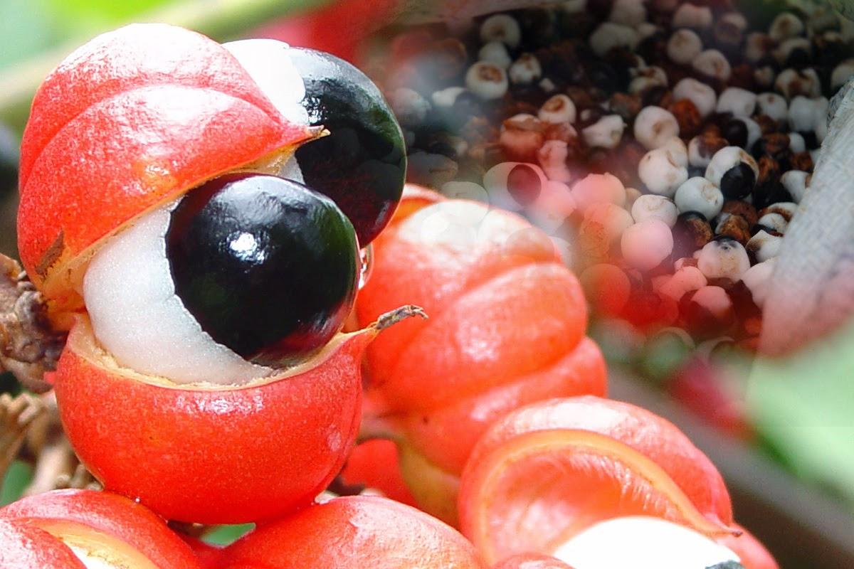Прием на guarana extract