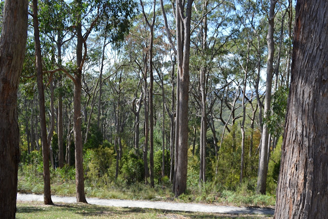 A dirt track passes a stretch of native forest with tall, thin vertical tree trunks with foliage at the top.  A couple of tree trunks can be viewed close-up in the foreground at the sides of the photo.
