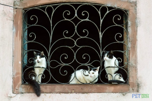 kittens havana