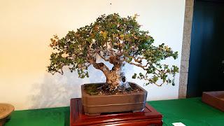 quercus agrifolia bonsai