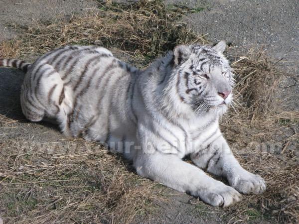 white siberian tiger - photo #36