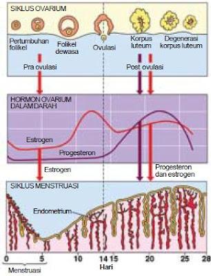 Pengertian, Proses Fertilisasi Internal (Pembuahan), Siklus Menstruasi (Haid), serta Masa Kehamilan dan Persalinan Pada Wanita
