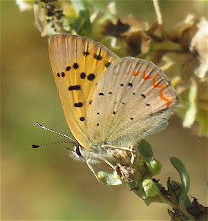 Lycaena helloides, Purplish Copper