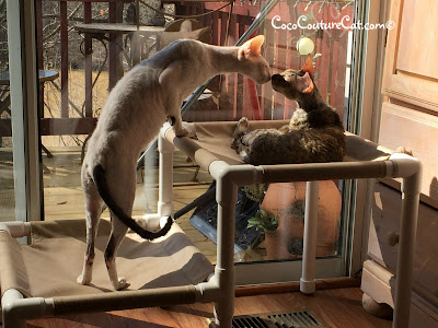 Coco, the Cornish Rex, and Nolo, the foster cat, kissing?