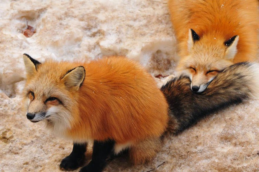zao fox village japan adorable photos-5