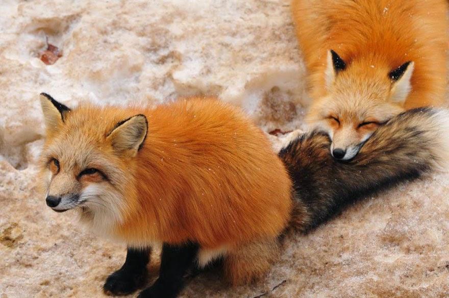 zao fox village japan adorable photos-5