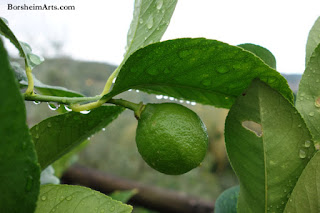 Tuscan Raindrops Water After Storm Lemon Tree