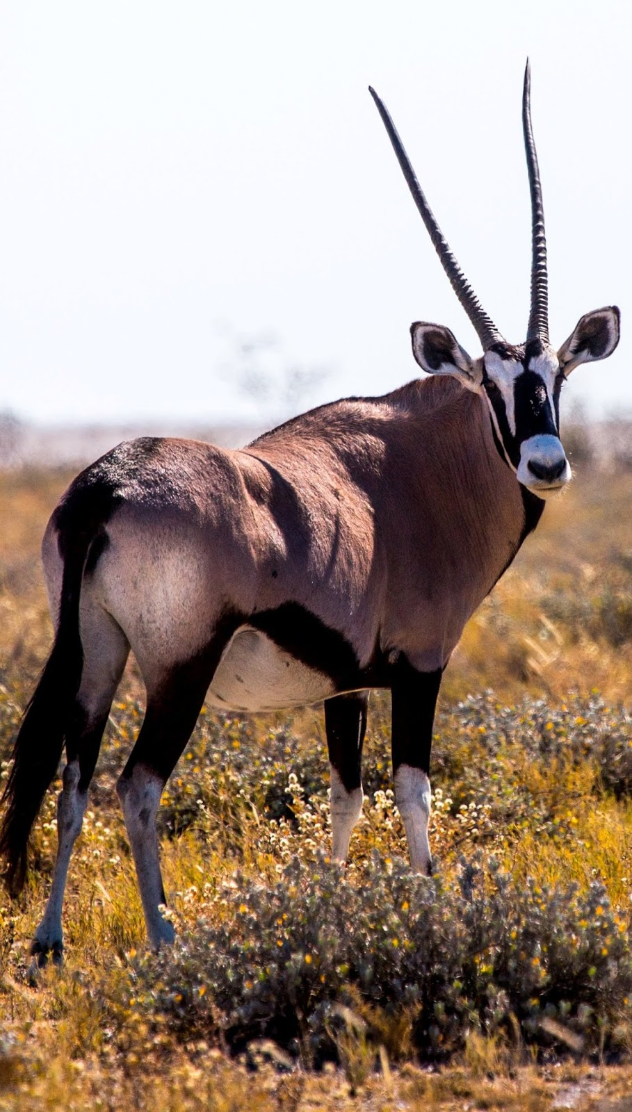 Photo of a gemsbok.