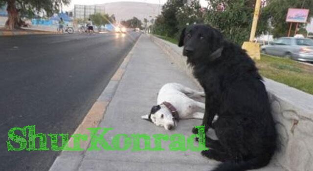 perro-permanece-junto-perra-muerta ShurKonrad dog love puppy dead fiel amigo 1