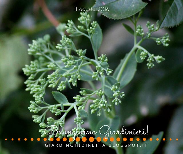 sedum spectabile - il giardino dalla A alla Z -  i fiori della settimana - un giardino in diretta