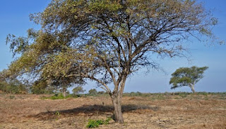 pohon-sidrotul-muntaha