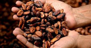 Cara Membuat Coklat Dari Biji Kakao di Rumah