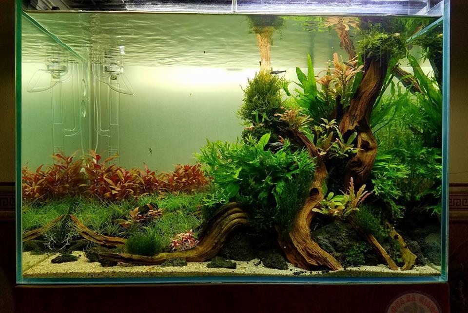 Một hồ thủy sinh có cây dương xỉ sừng hươu