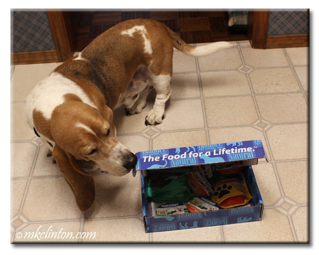 Bentley Basset sniffing blue Natural Balance box of treats