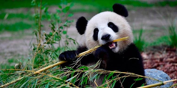 Panda Menghabiskan Waktu 14 Jam Hanya untuk Makan