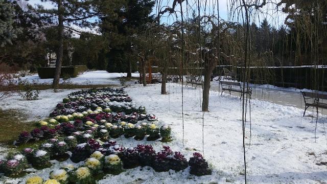 הפארק הבוטני של יאש בחורף, כרוב סגול וירוק.