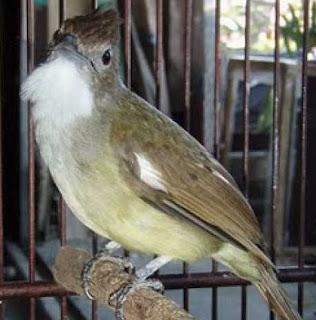 Foto Burung Cucak Jenggot Daftar Harga Terbaru