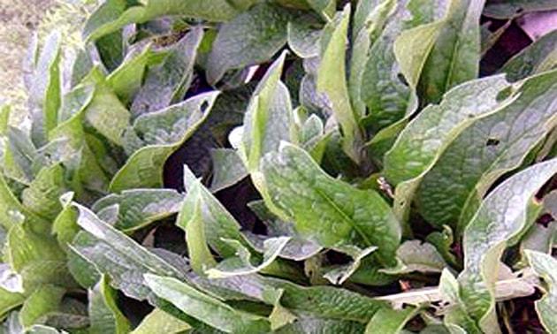 Confrei (Symphytum officinale L.)