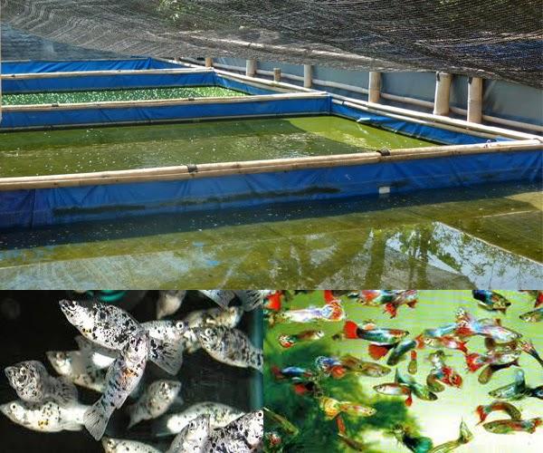Cara Budidaya Ikan Hias di Kolam Terpal ~ Permathic Blog