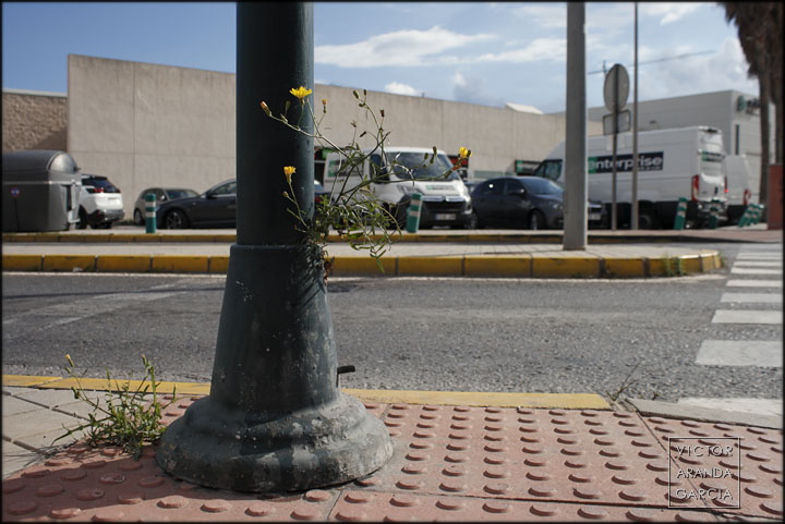 planta,semaforo,acera,crece