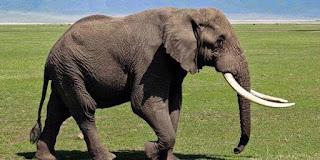 Pernik Dunia 77 Apa Makanan Gajah
