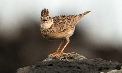 Kisaran Harga Terbaru Burung Branjangan Saat Ini 2017