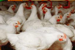 Ayam Broiler Dan Cara Budidayanya