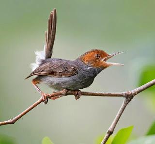 Suara Burung Prenjak Ngebren Buat Masteran