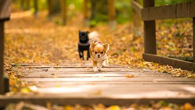 Tierfotografie Chihuahua- Hundedamen an Brücke zu Frauchen laufend