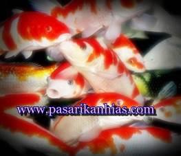 jenis ikan koi yang ada di indonesia