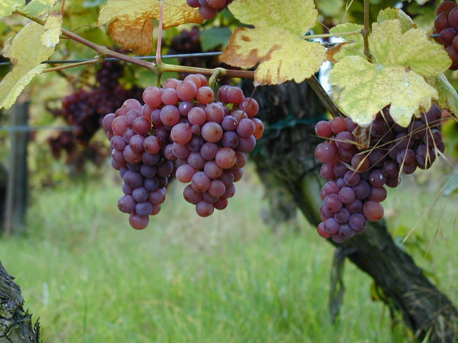 wallpapers: Red Grapes