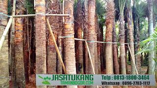 Jual Pohon Palem Sadeng,Jual Pohon Livistona Rotundifolia,Jual Berbagai Jenis Palem