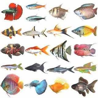 Unduh 75+ Gambar Ikan Air Tawar Beserta Namanya HD Terpopuler