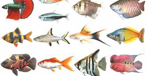 Jenis Ikan Gambar Hias Bermotif Hewan Jenis Ikan Hias Air Tawar Untuk Akuarium