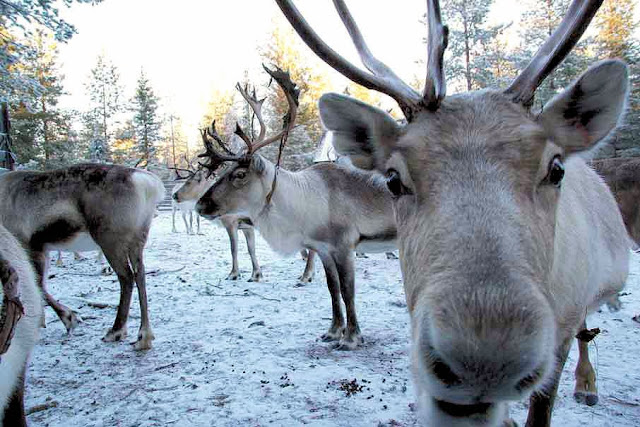 Did you know there are more reindeer than people in Lapland? Our numbers are greater than 200,000 while the residents who call Finland home total approximately 190,000!