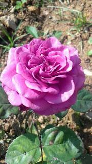 thung lũng hoa hồng