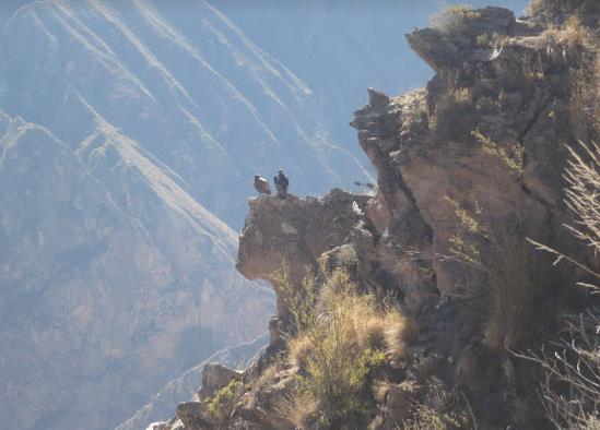 colca canyon i condor