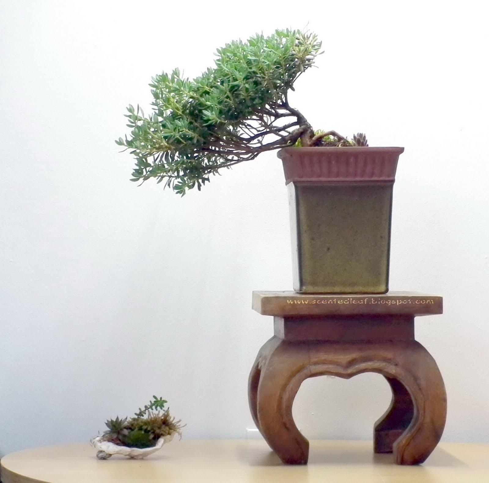 Scented Leaf Pjm Rhododendron Bonsai
