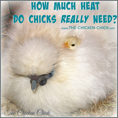 How Much Heat do Baby Chicks REALLY Need?