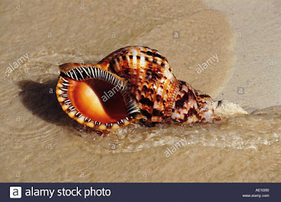 Nhận diện những loài ốc có độc tố chết người ở biển Việt Nam